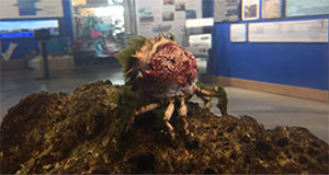 Watch the Furcate Spider Crab Molt