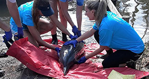 ALMMSN rescues rare pantropical spotted dolphin in Deer River