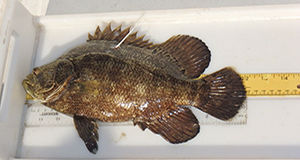 Tripletail tagging researchers deem first year success